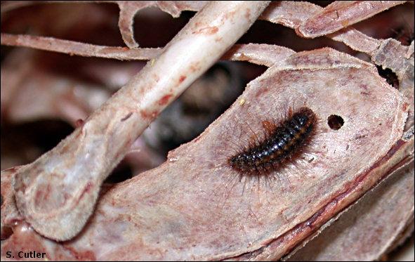 Larval dermestid beetle
