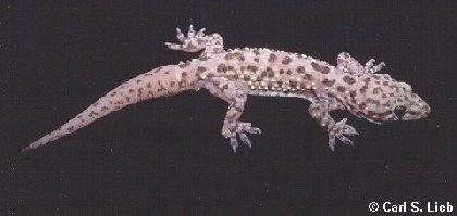 http://museum2.utep.edu/archive/reptiles/medgecko.jpg