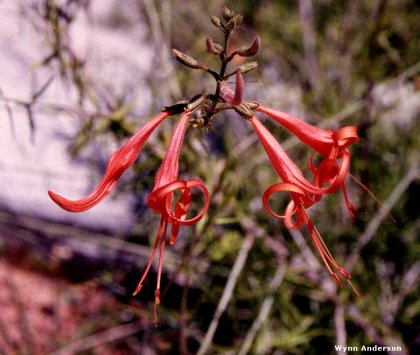 Chihuahuan Desert Plants Dwarf Anisacanthus