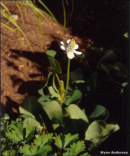 Chihuahuan Desert Plants Anemopsis Californica