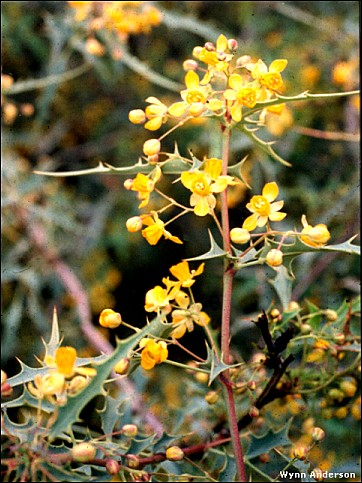 Chihuahuan Desert Plants Berberis Trifoliolata