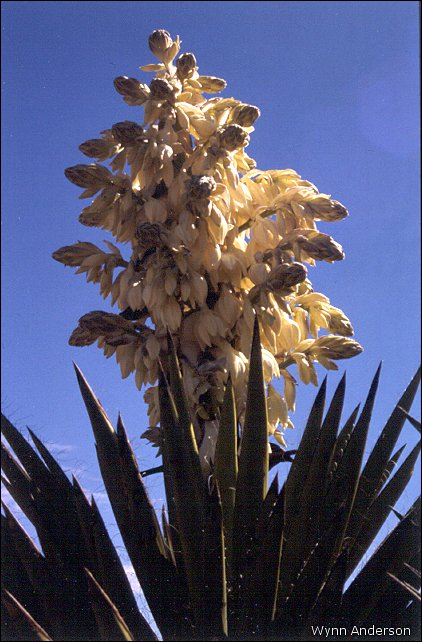 Yucca Plant Flower Yucca Faxoniana in Flower