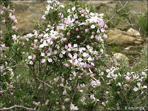 Chihuahuan Desert Plants Fendlera Rupicola