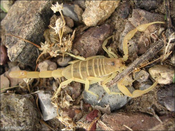 Striped Bark Scorpion: Centruroides vittatus