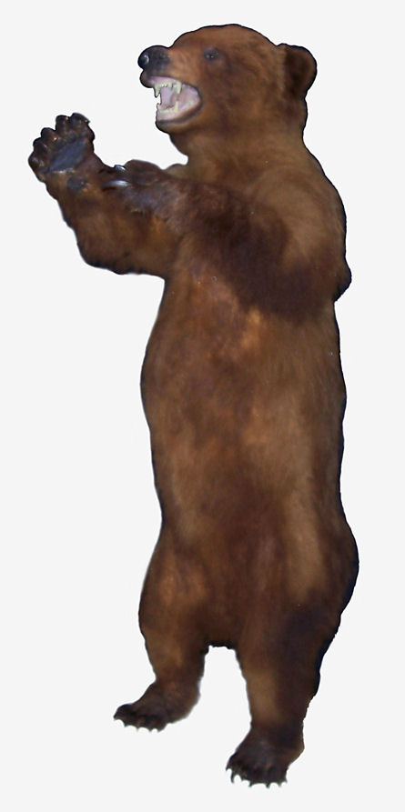Grizzly Bear mount. Grizzlies were widely distributed in the northern