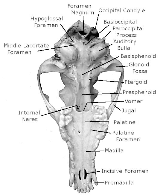 Mammal Skull Diagram Schematic Wiring Diagrams