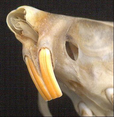 Heteromyidae